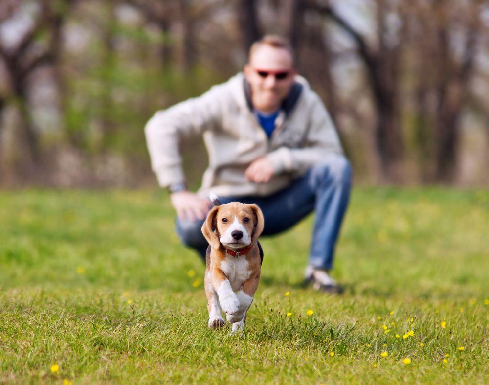 Beagle Erziehung beginnt im Welpenalter