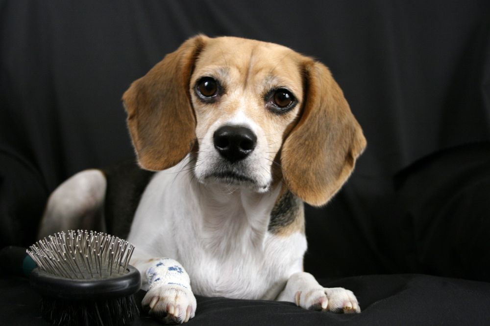 Beagle Fell Pflege