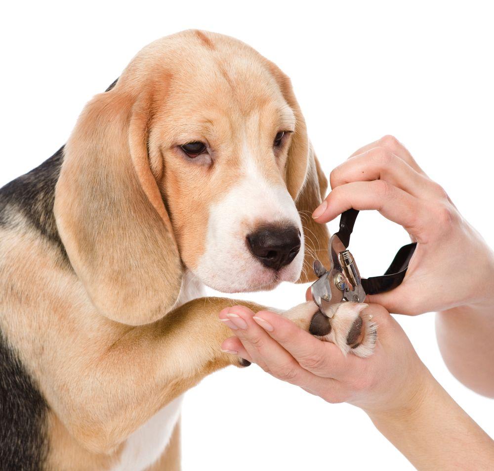 Beagle Krallenschneiden mit der Krallenschere