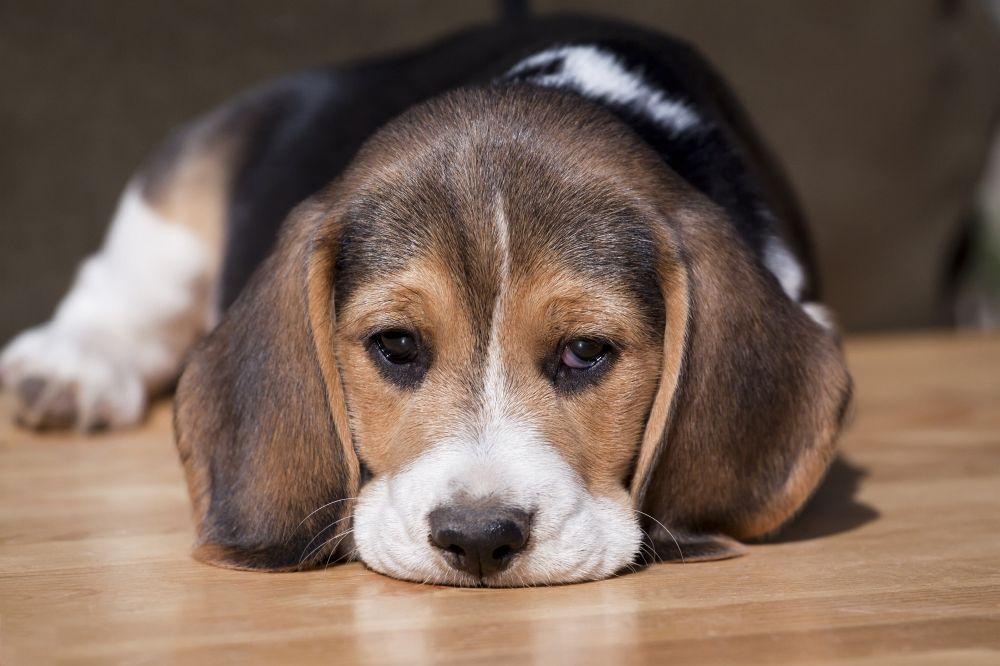 Beagle Krankheiten - Lustlosigkeit Abgeschlagenheit