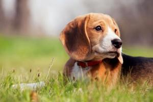 Pflege der Beagle Ohren