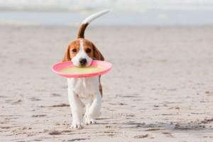 Beagle am Hundestrand