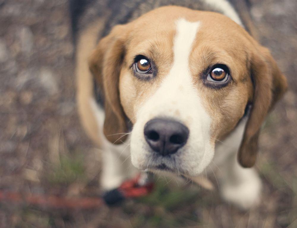 Beagle aus Tierheim