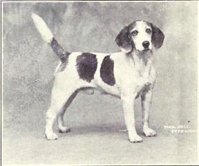 Foto eines Beagle um 1915