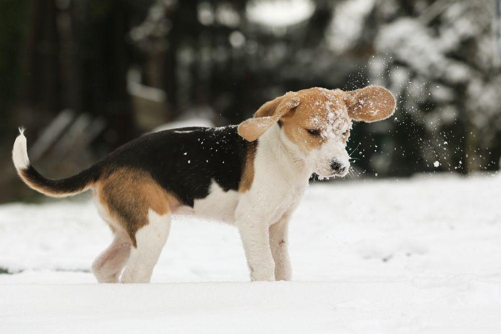 Ernährung und Futter für Beagle Welpen