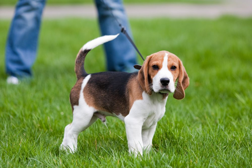 Ein gesunder Beagle Welpe