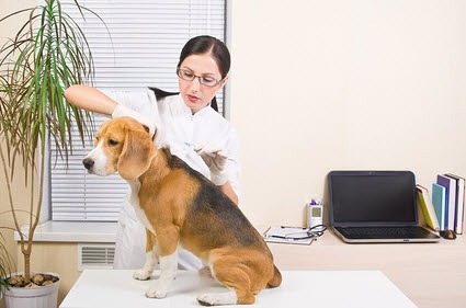Der Beagle wird geimpft.