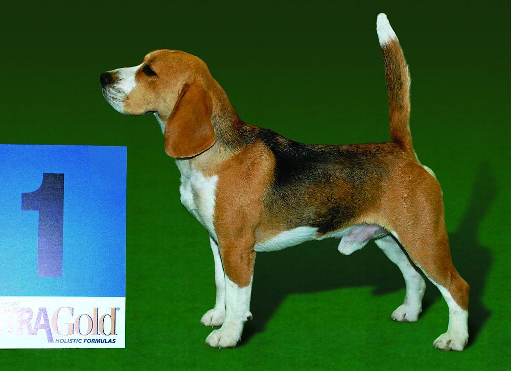 Rassestandard Beagle