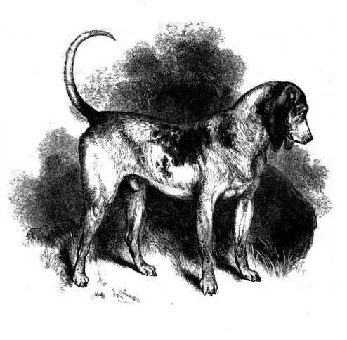 Southern Hound: ein Vorfahre des Beagle.