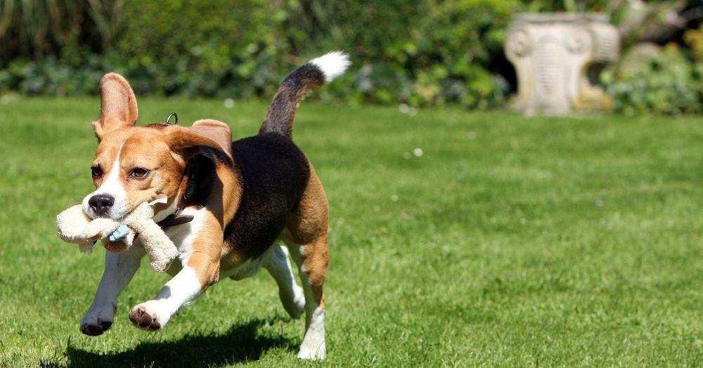 Beagle Beschäftigung