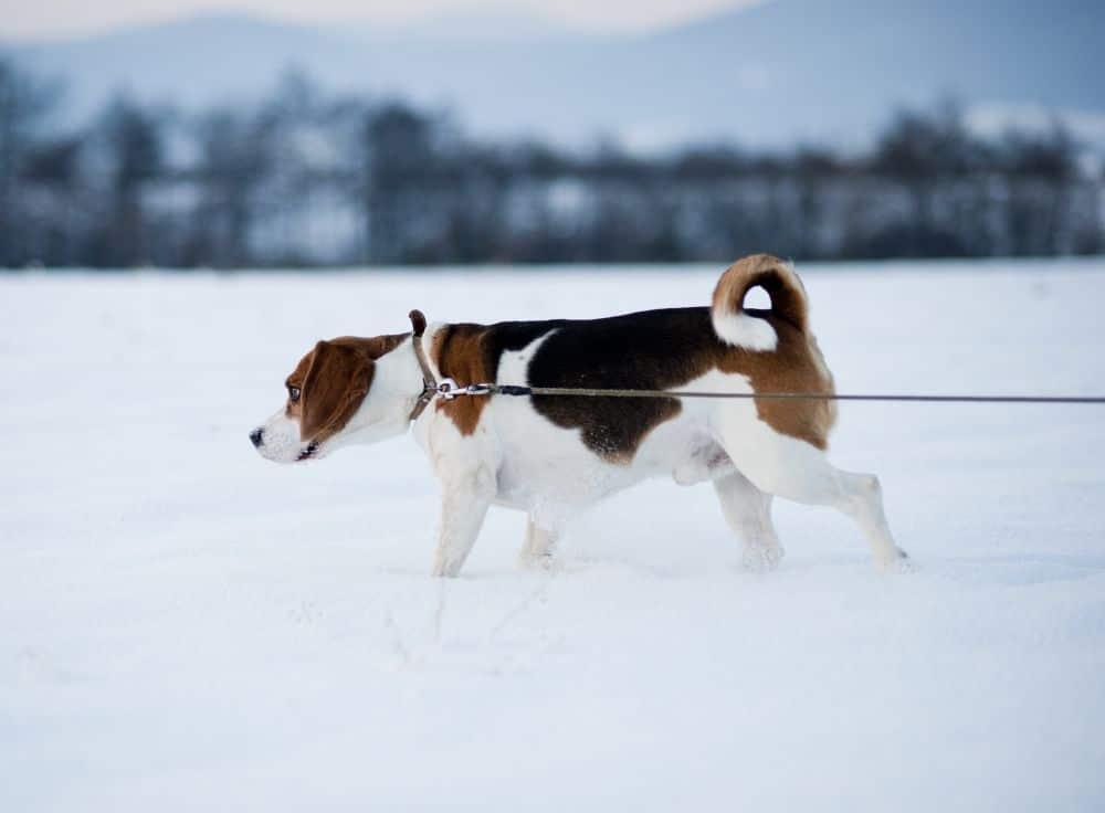 Beagle im Winter beschäftigen