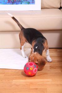 Beagle in der Wohnung beschäftigen