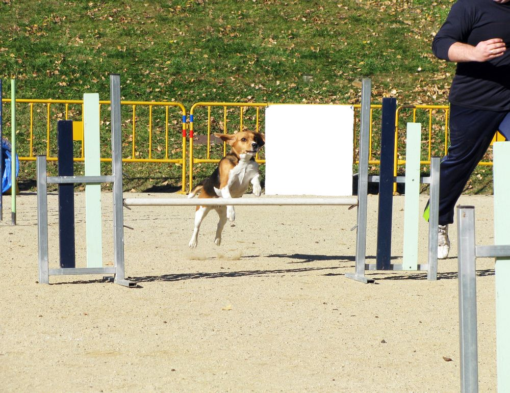 Beagle körperlich auslasten
