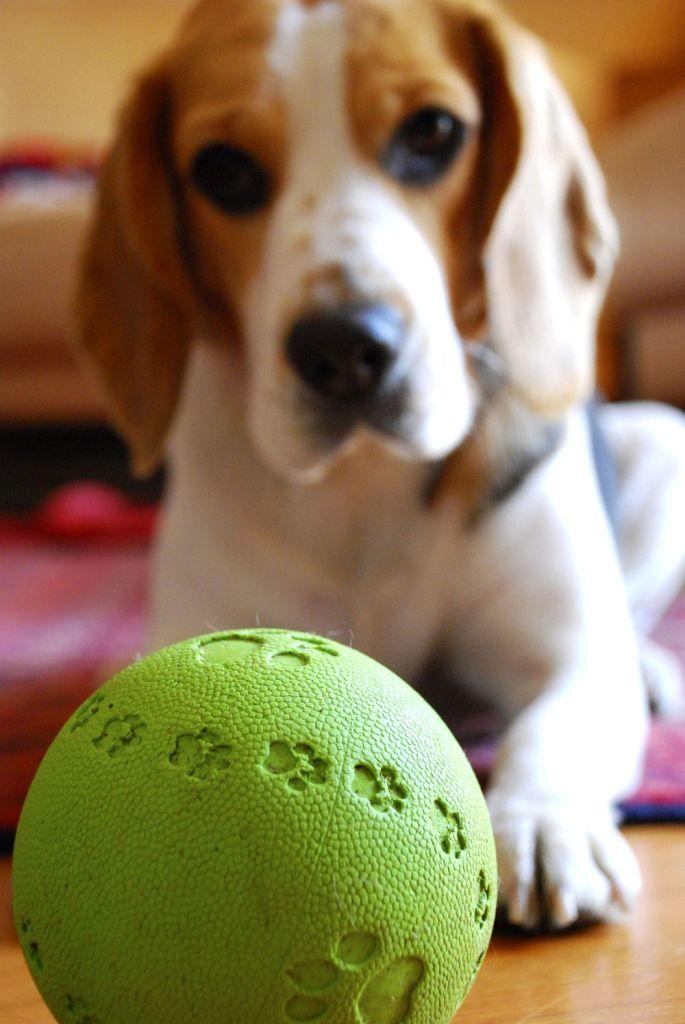 Wie kann ich meinen Beagle beschäftigen?