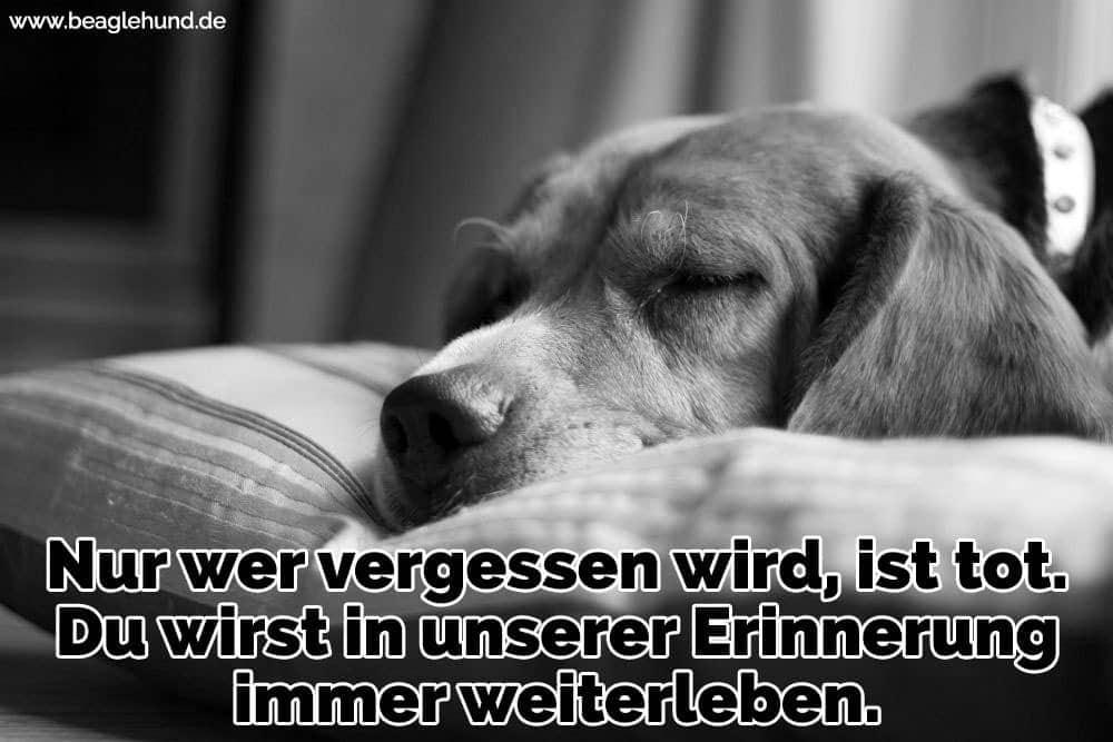 Ein Beagle Schlaf