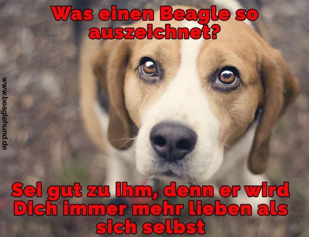 Ein trauriger Beagle Blick auf Sie