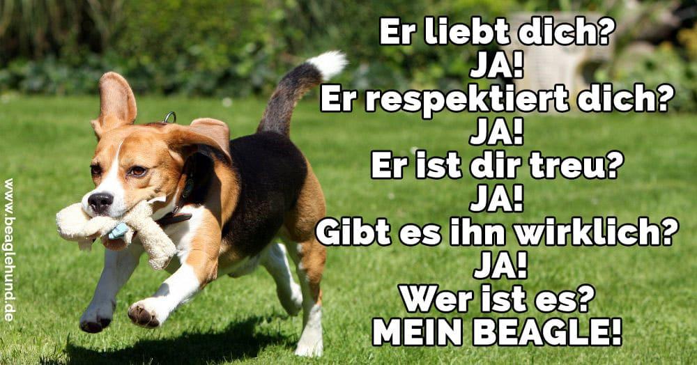 Ein Beagle läuft mit einem Spielzeug in den Mund