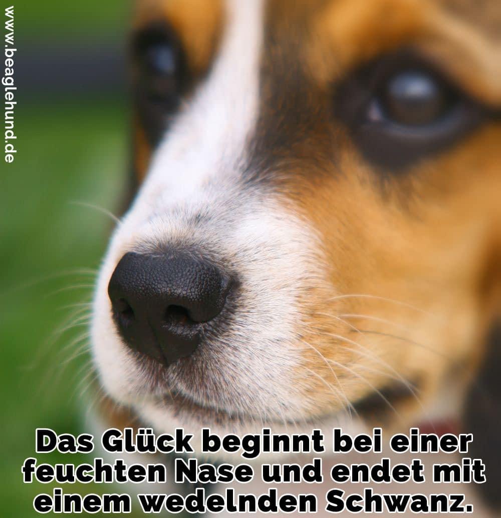 Ein trauriger Beagle