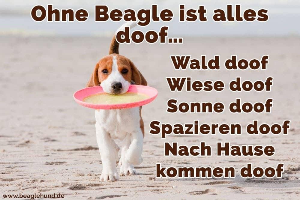 Ein Beagle mit einem Spielzeug in den Mund am Strand