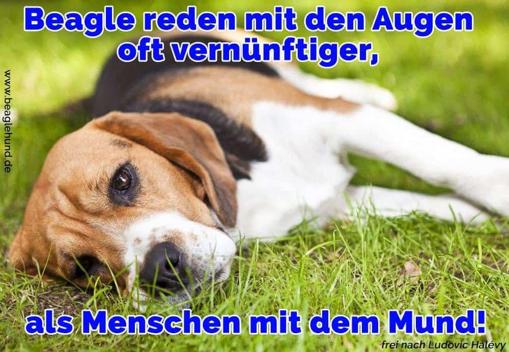 Ein Beagle auf dem Rasen liegt