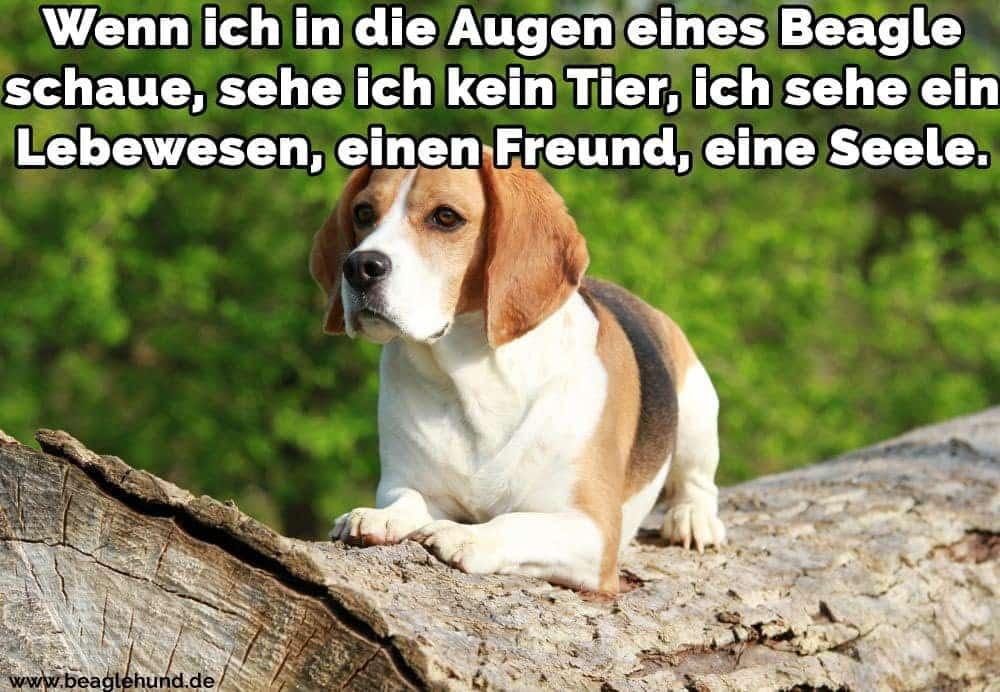 Ein Beagle im Kofferraum sitzen