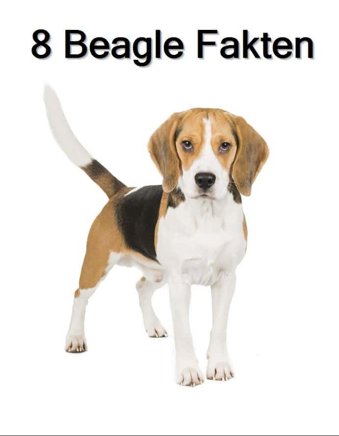 Acht interessante Fakten zur Hunderasse Beagle. Hättest Du es gewusst?