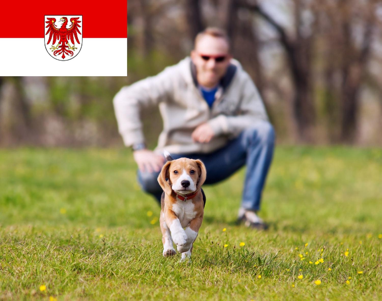 Beagle Welpen in Brandenburg
