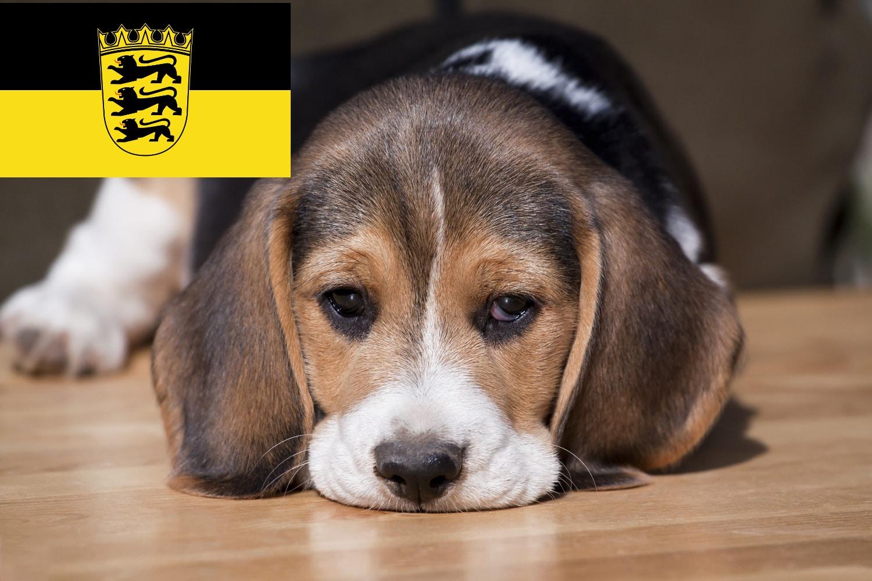 Beagle Welpen in Baden Württemberg BW