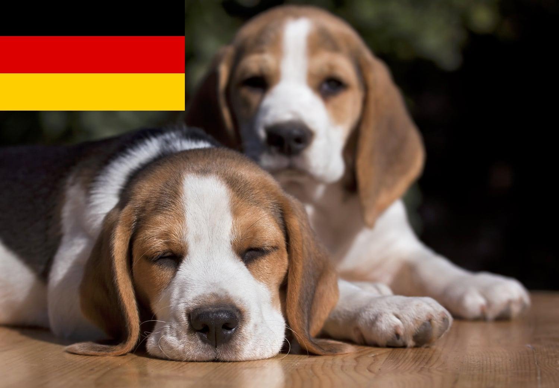 Beagle Welpen und Züchter aus Deutschland