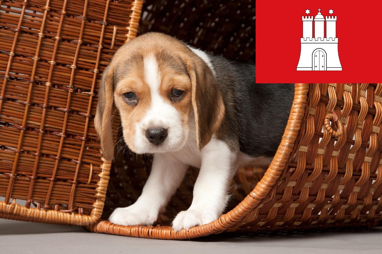 Beagle Welpen und Züchter in Hamburg