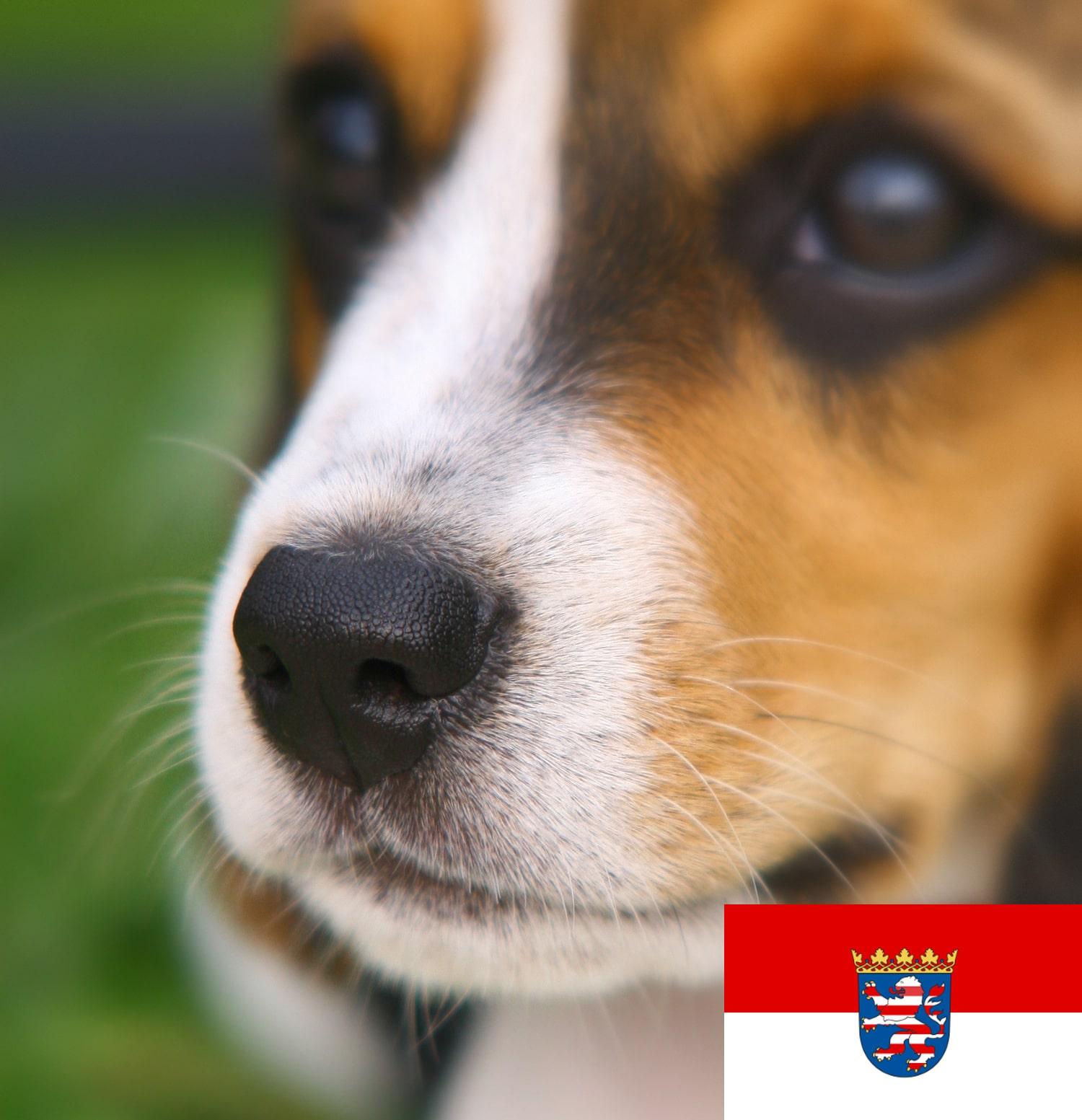 Beagle Welpen in Hessen
