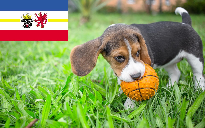 Beagle Welpen Mecklenburg-Vorpommern