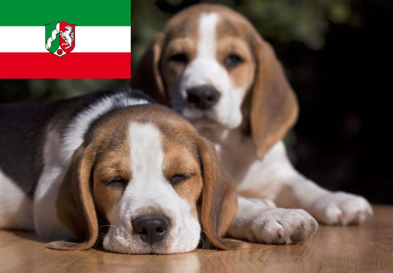 Beagle Welpen in NRW, Nordrhein-Westfalen