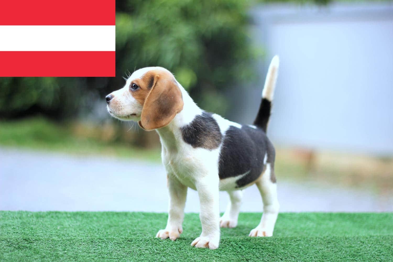 Beagle Welpen in Österreich