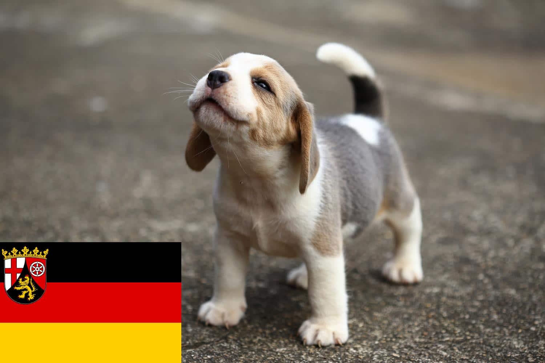 Beagle Welpen und Züchter in Rheinland-Pfalz