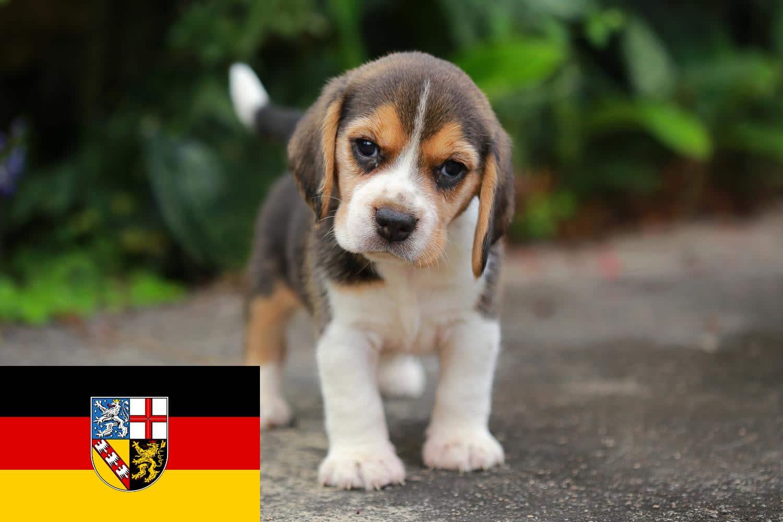 Beagle Welpen Saarland