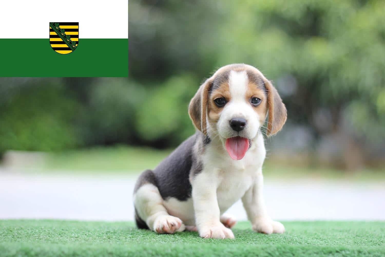 Beagle Welpen und Züchter in Sachsen