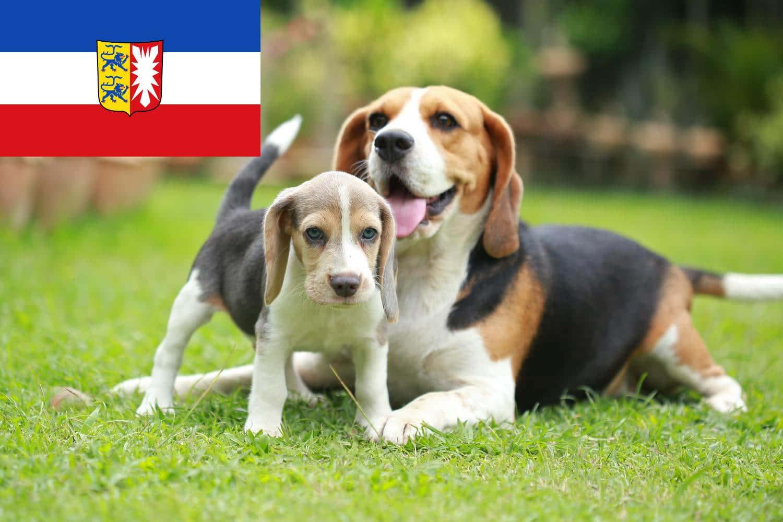 Beagle Welpen und Züchter in Schleswig-Holstein