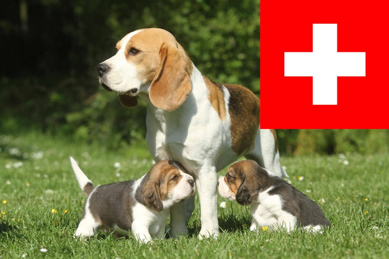 Beagle Welpen in der Schweiz
