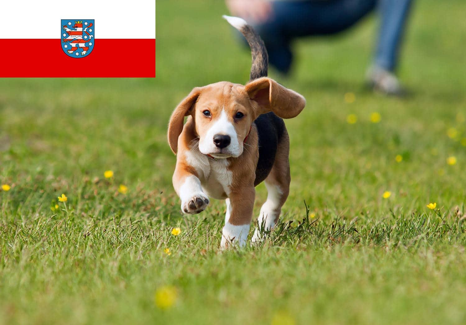 Beagle Welpen und Züchter in Thüringen