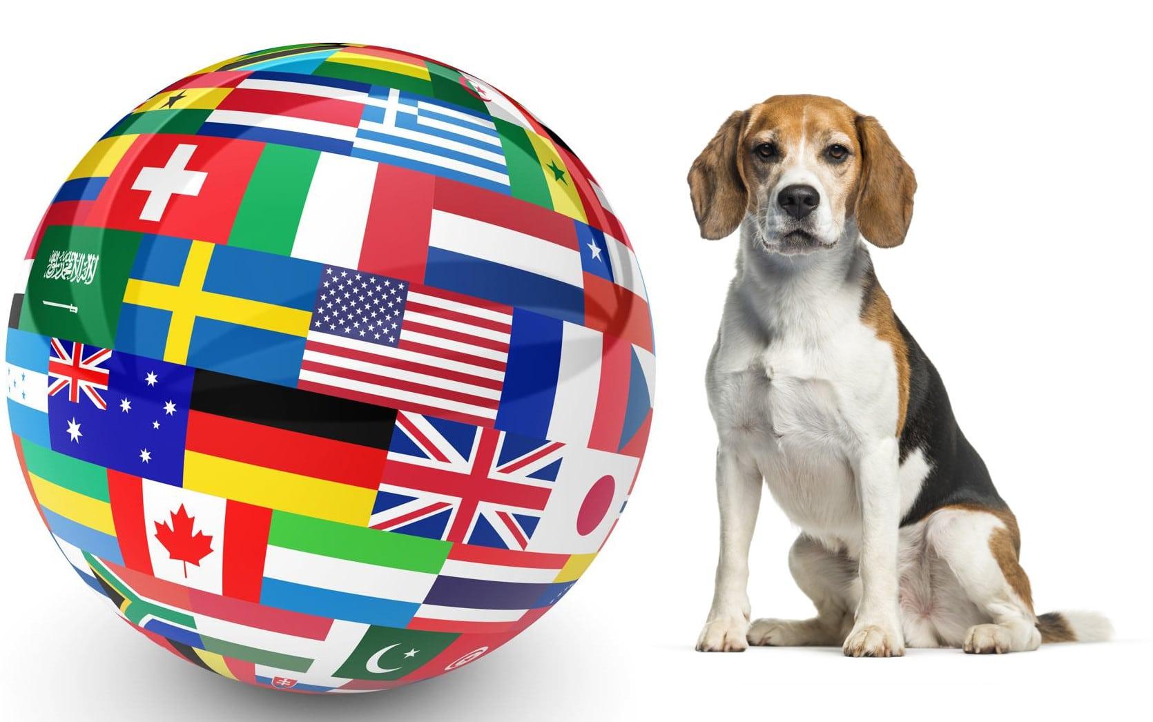 Beagle Züchter in aller Welt
